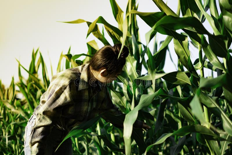 Młody rolnik obserwuje niektóre mapy kukurydzane w segregujący, Eco technologii organicznie nowożytny mądrze rolny pojęcie zdjęcie royalty free