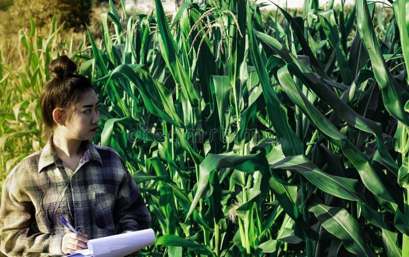 Młody rolnik obserwuje niektóre mapy kukurydzane w segregujący, Eco technologii organicznie nowożytny mądrze rolny pojęcie fotografia royalty free