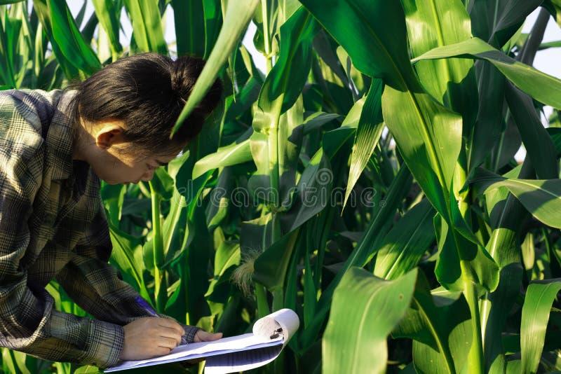 Młody rolnik obserwuje niektóre mapy kukurydzane w segregujący, Eco technologii organicznie nowożytny mądrze rolny pojęcie zdjęcia stock