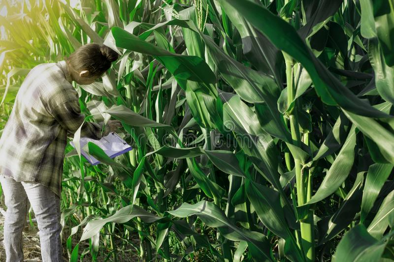 Młody rolnik obserwuje niektóre mapy kukurydzane w segregujący, Eco technologii organicznie nowożytny mądrze rolny pojęcie obraz royalty free