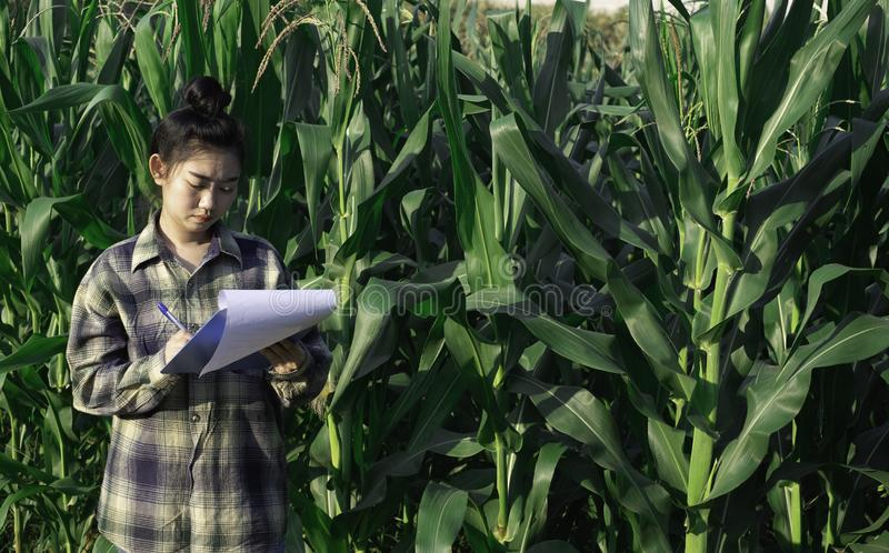 Młody rolnik obserwuje niektóre mapy kukurydzane w segregujący, Eco technologii organicznie nowożytny mądrze rolny pojęcie fotografia stock