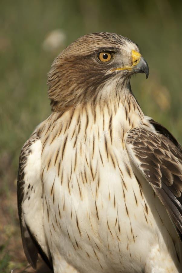 Målad örn, blek morf, Aquila pennata, royaltyfri fotografi