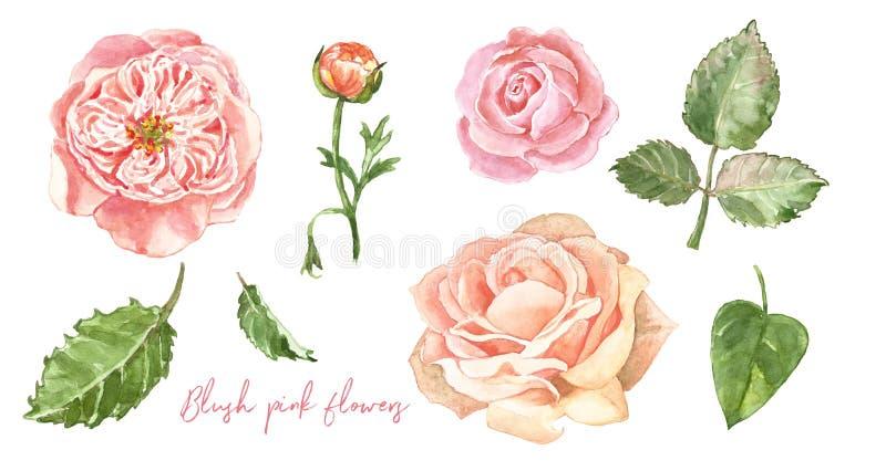 Målad blom- uppsättning för akvarell hand Rosa ranunculus för rodnad, engelska rosor och gröna sidor som isoleras vektor illustrationer