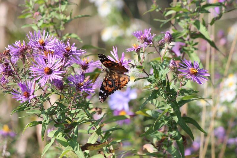Målad cardui för dam Butterfly Vanessa på den New England aster arkivfoto