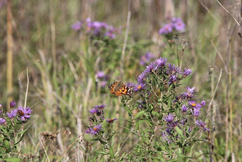 Målad cardui för dam Butterfly Vanessa på den New England aster royaltyfri foto
