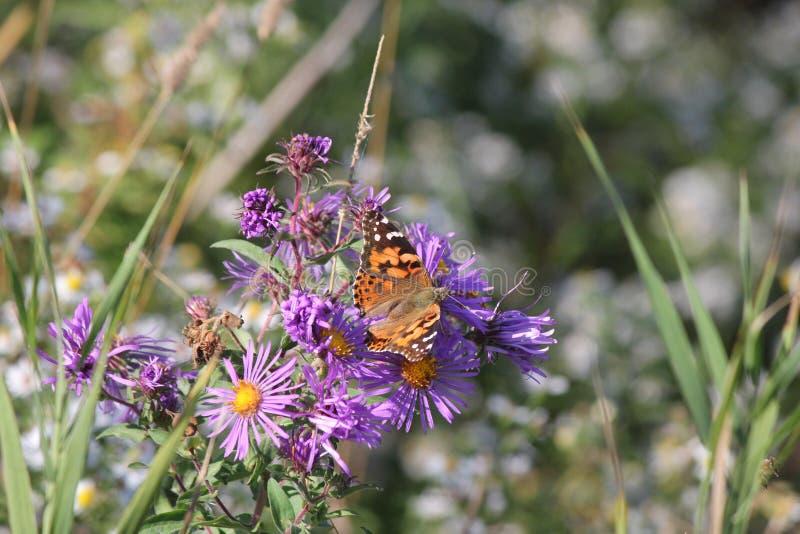 Målad cardui för dam Butterfly Vanessa på den New England aster fotografering för bildbyråer