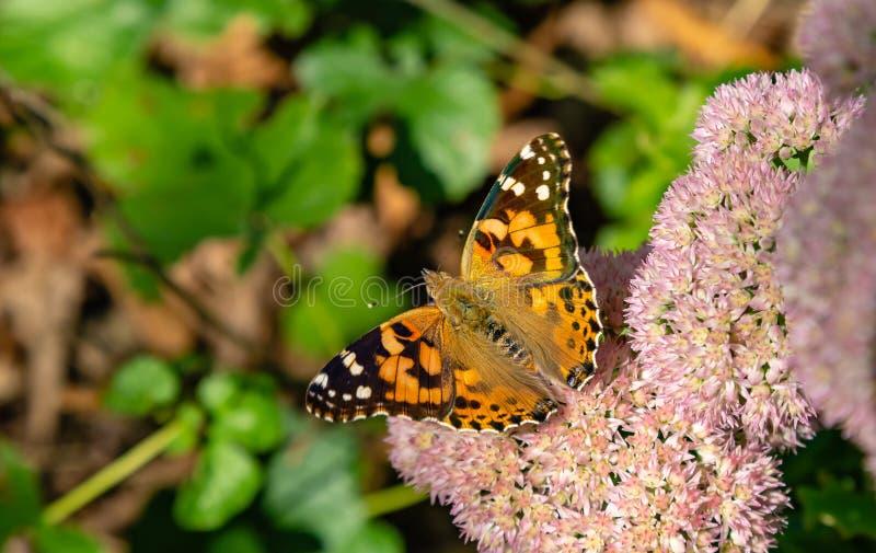 Målad carduifjäril för dam Vanessa med öppna vingar som sätta sig på sedum arkivfoton