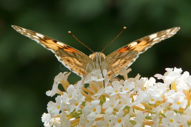 Målad carduifjäril för dam Vanessa på buddleia arkivbild
