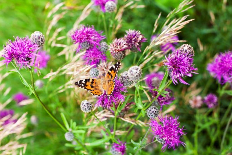 Målad damfjäril på att blomma purpurfärgade tistelblommor som är nära upp den bästa sikten, härlig orange Vanessa cardui på grönt arkivfoton
