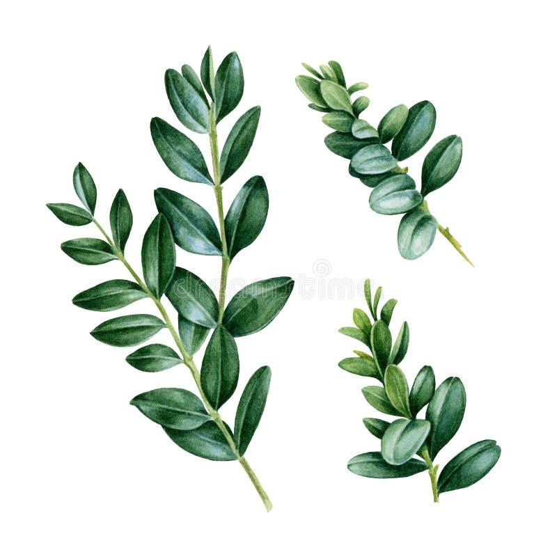 Målad grön uppsättning för vattenfärg hand med buxussidor Blom- illustration av naturliga buxbomfilialer som isoleras på vit bakg stock illustrationer