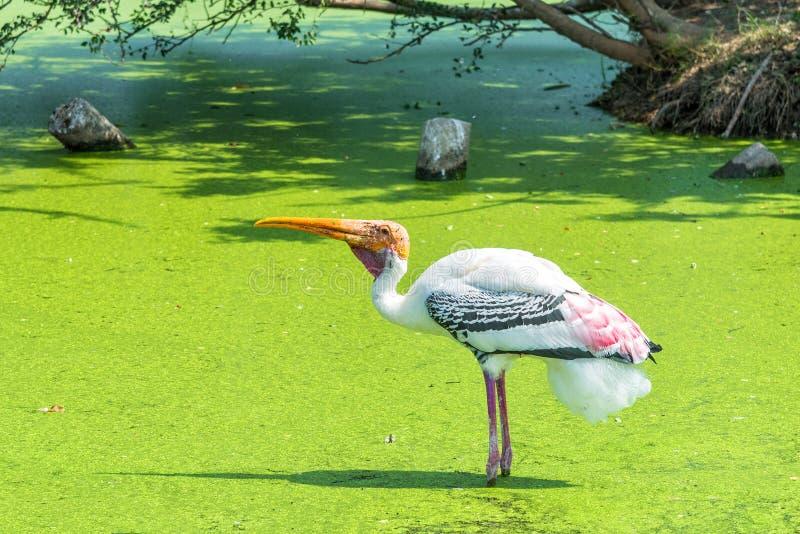 Målad stork i det gröna träsket för att finna en fisk royaltyfria bilder