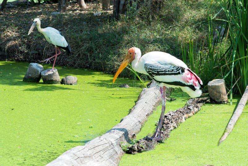 Målad stork i det gröna träsket för att finna en fisk arkivbilder