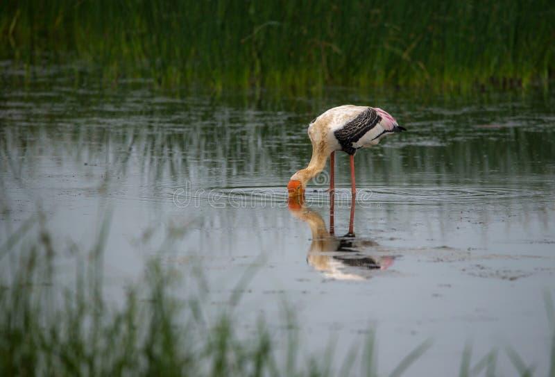 Målad stork i sökandet för mat royaltyfria foton