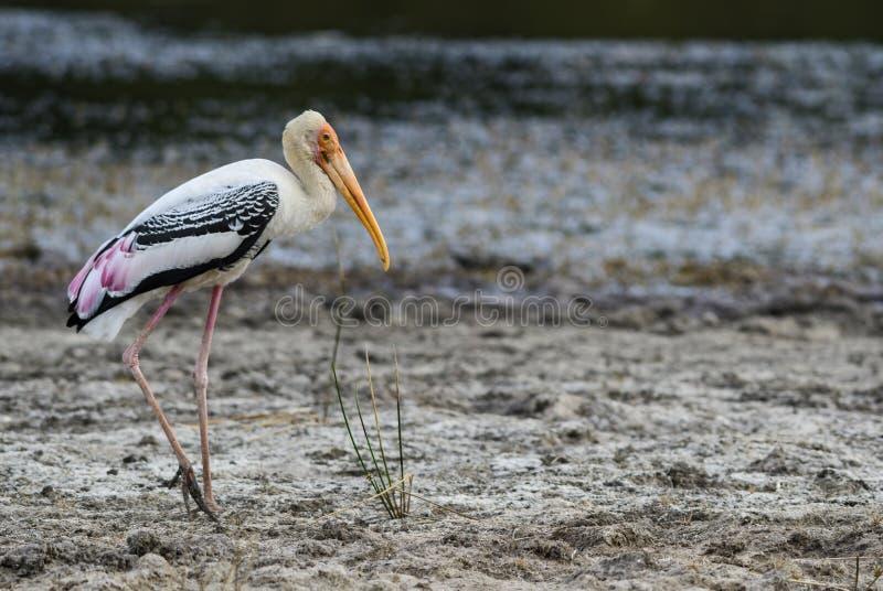 Målad stork - Mycteria leucocephala, Sri Lanka arkivfoto