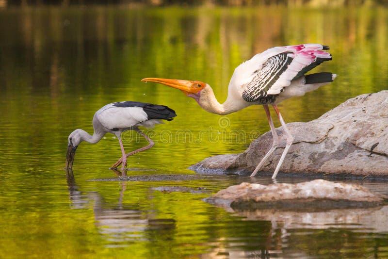 Målad stork- och asiatopenbillstork arkivfoton