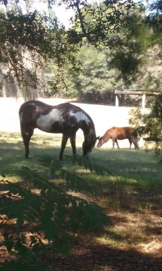 Målarfärghäst och ponny royaltyfria bilder