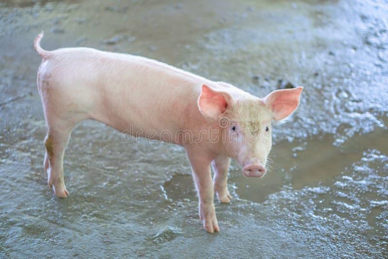 2 månad årigt piggy som ser sunt i en lokalASEAN-svinfarm Begreppet av det standardiserade och rena lantbruket utan lokal D royaltyfri foto
