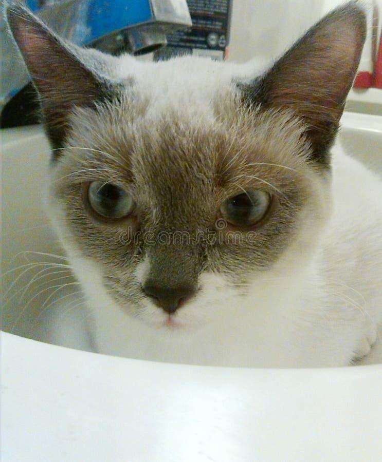 4 månad gammal Siamese/Himalayan kattunge arkivfoto