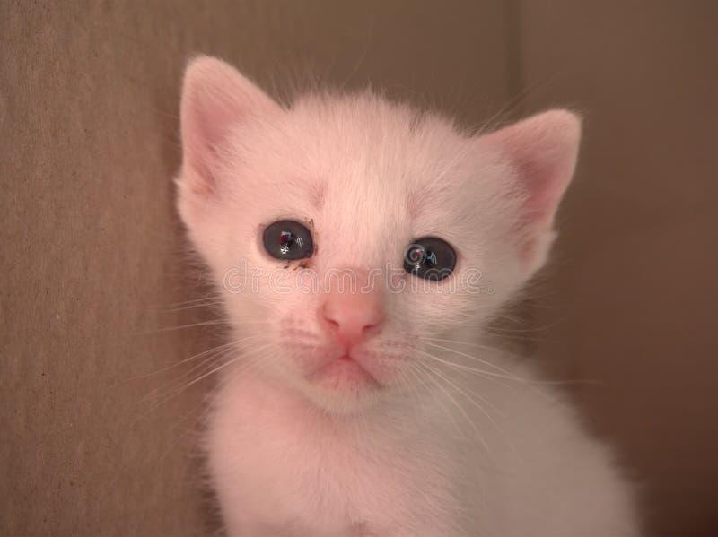 1 månad vit behandla som ett barn kattungen fotografering för bildbyråer