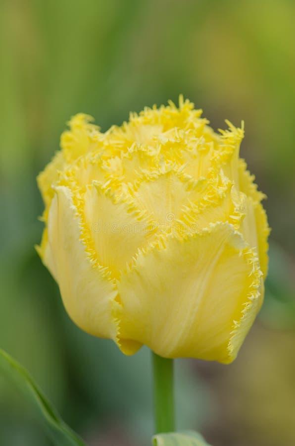 måndag för frottégulingtulpan kärleksaffär royaltyfri bild