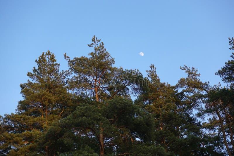 Måne i dagtid ovanför skogträden som är bästa mot en klar blå himmel arkivbild