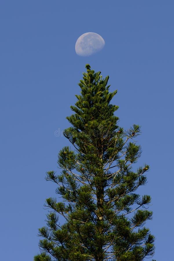 Månen över sörjer trädet royaltyfria foton