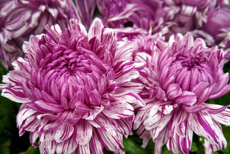 Mång--färgad krysantemumblomma Röd krysantemum, purpurfärgad blom- bakgrund arkivfoton