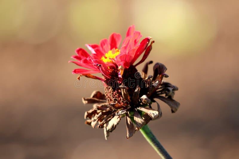 Mång- i lager ljusröd Zinniaväxt med den delvist torkade blomman som innehåller lagret av torkat och ett av ljusa röda nya kronbl fotografering för bildbyråer