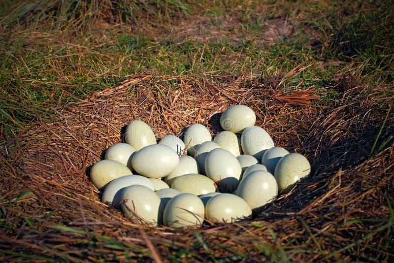 Många ägg i jordredet, rede av större nandu, den americana nandu, Pantanal, Brasilien, redena thus används kollektivt av seve arkivbilder