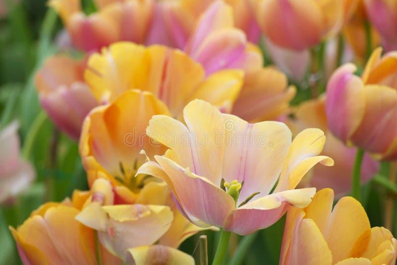 Många av orange tulpan arkivfoton
