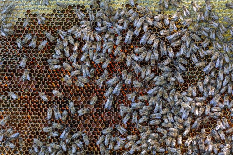 Många bin kryper på sexhörniga honungskakor som fylls med ny honung fotografering för bildbyråer