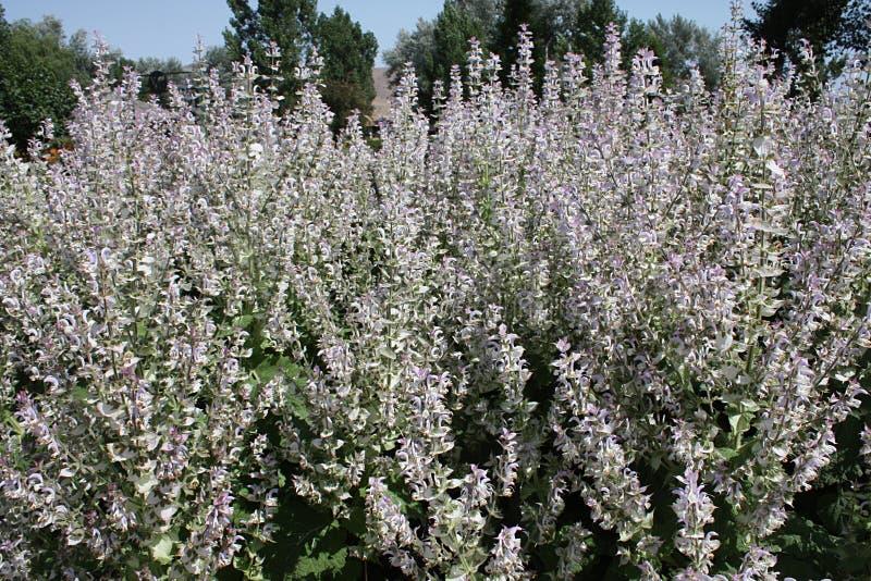 Många blom- grova spikar för claryvis man med kronblad i ljus lavendel och vit arkivbild