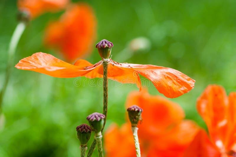 Många blommade röda vallmoblommor i en äng i vår fotografering för bildbyråer