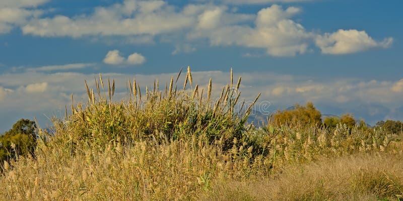 Många canesunder för jätte- vass en blå himmel med fluffiga moln - Arundodonax royaltyfria foton