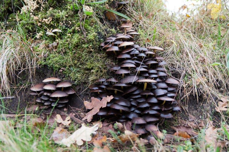 Många champinjoner på ett gammalt träd arkivbild