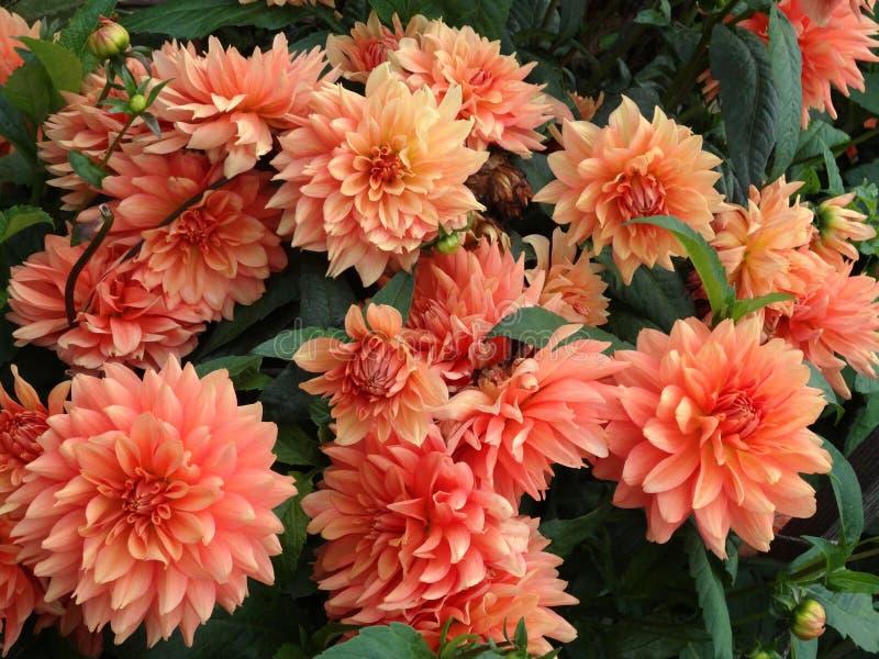 Många dahlia i trädgård royaltyfri bild