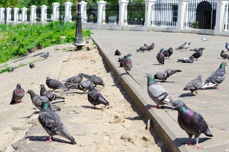 Många duvor går på asfalten royaltyfria foton