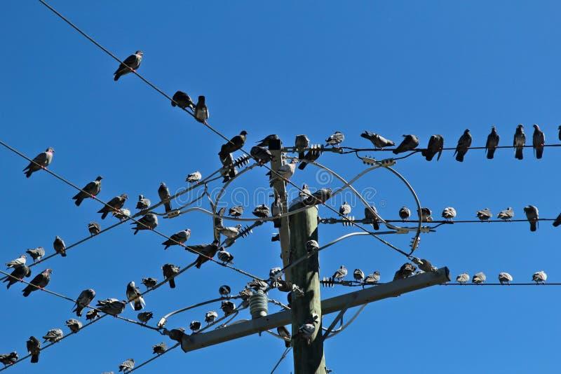 Många duvor satt på några trådar royaltyfria foton