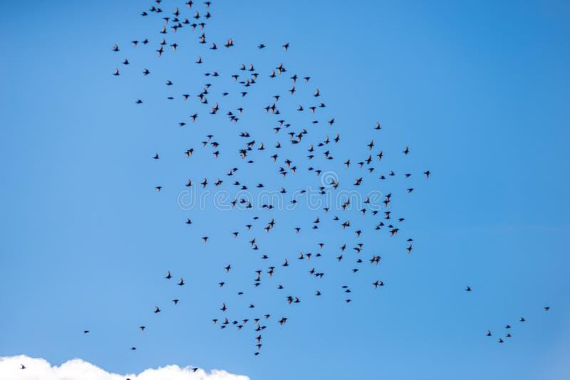Många fåglar flyger mot den blåa himlen och molnen arkivfoto