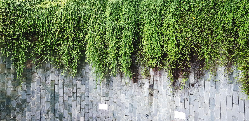 Många gör grön vinrankan, murgrönan eller att krypa växttillväxt på den grova gråa väggbakgrunden med kopieringsutrymme arkivbild