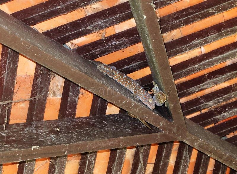 Många geckor är under taket onabandoned husen fotografering för bildbyråer