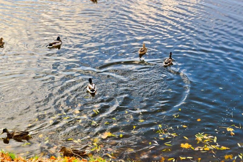 Många gråa änder simmar i vattnet, i ett damm, en flod, en sjö med gula sidor för hösten royaltyfri fotografi