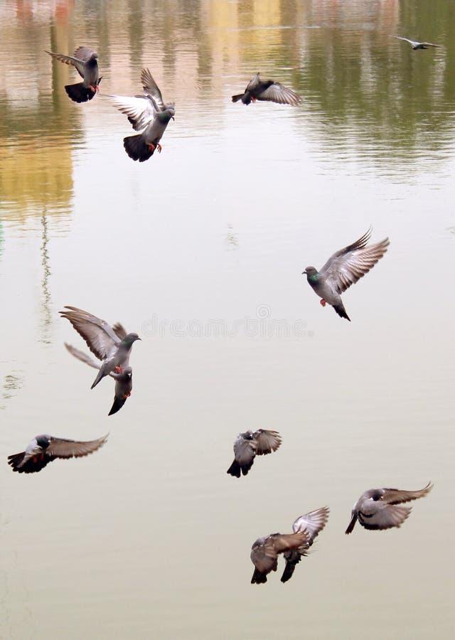 Många gråa duvor som flyger upp pölvatten arkivfoton