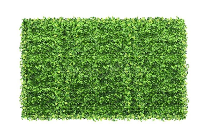 Många gröna fikuspumilasidor och tom fotoram som isoleras på arkivfoto