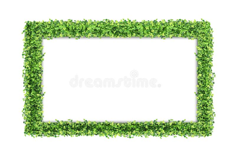 Många gröna fikuspumilasidor och tom fotoram som isoleras på arkivbild
