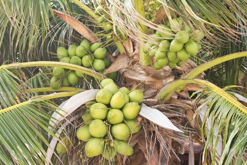 Många grupp av kokosnöten på kokospalmen fotografering för bildbyråer