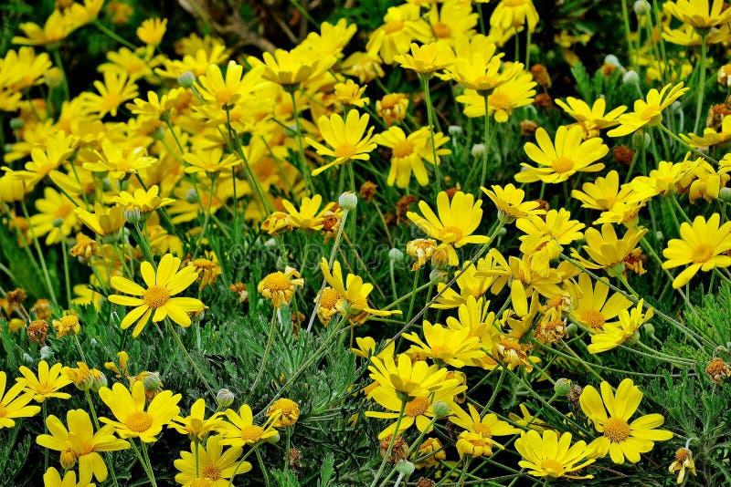 Många gula blommor i fältet som blommar tusenskönor royaltyfri bild