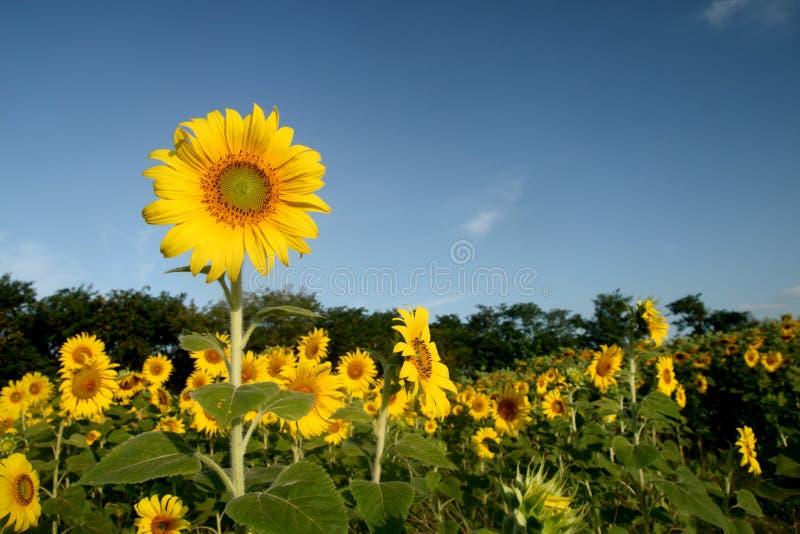 Många gulnar solrosen i trädgårds- och blå himmel royaltyfri fotografi