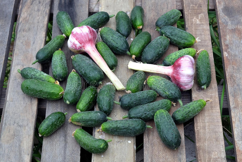 Många gurkor med vitlök på utomhus- bästa sikt för gammal trätabell royaltyfri fotografi