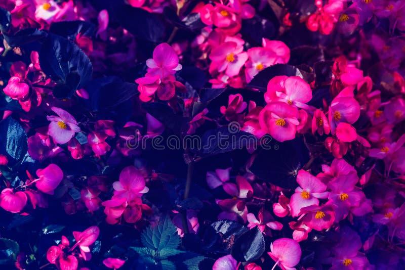 Många härliga begoniablommor stänger sig upp royaltyfri bild